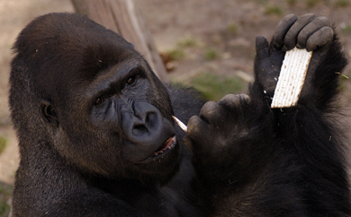 Gorilla Trying Matza in Ramat Gan Zoo